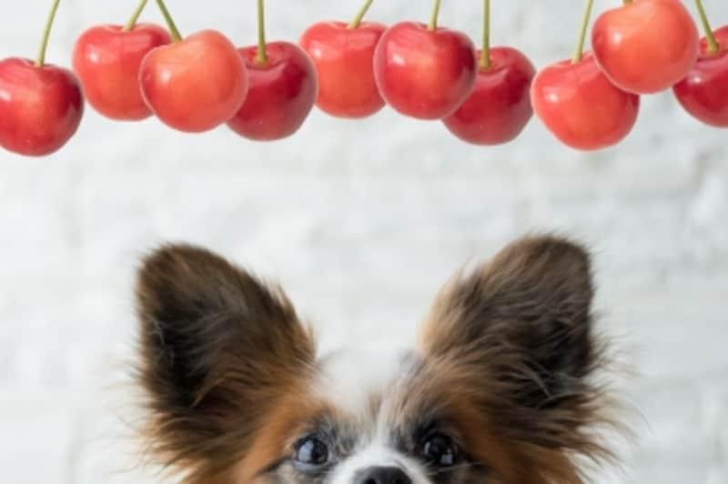 犬undefinedさくらんぼundefined食べて良いundefined量undefined病気undefined薬undefined食べ合わせ