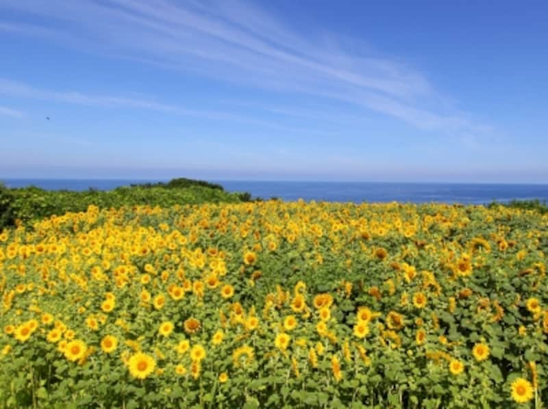 佐渡島「小川のひまわり畑」
