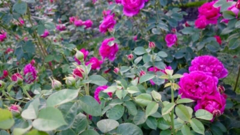 rosegardencityofroses