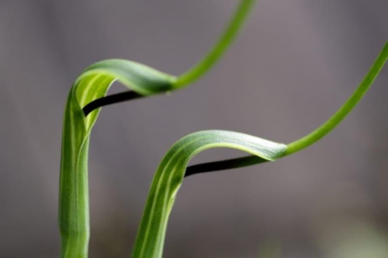 半夏は烏柄杓の異名で、その姿が柄杓のようにみえることからその名がつきました