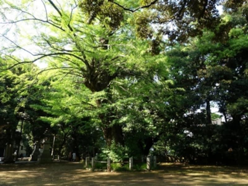 赤坂氷川神社の大木からはパワーを感じる