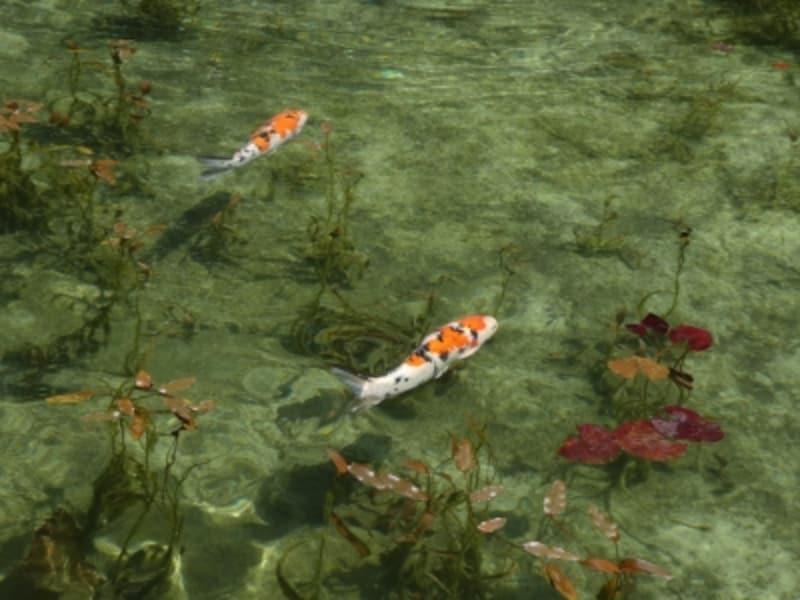 モネの池(5)