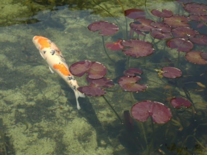 モネの池(6)