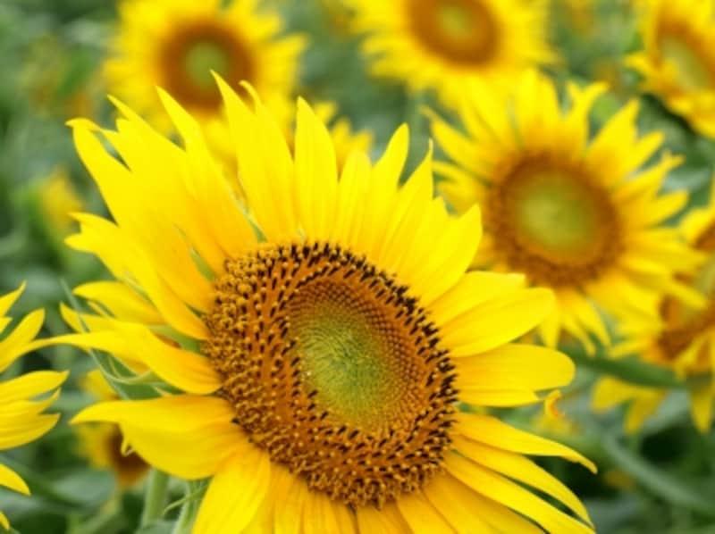ヒマワリの花は、実はたくさんの小さい花の集合体