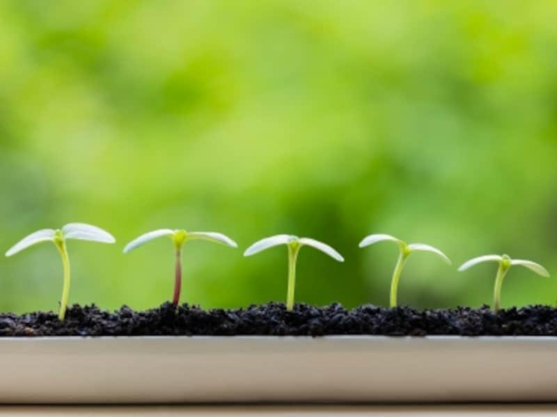 ひまわり(向日葵)は、初心者でも育てやすい植物
