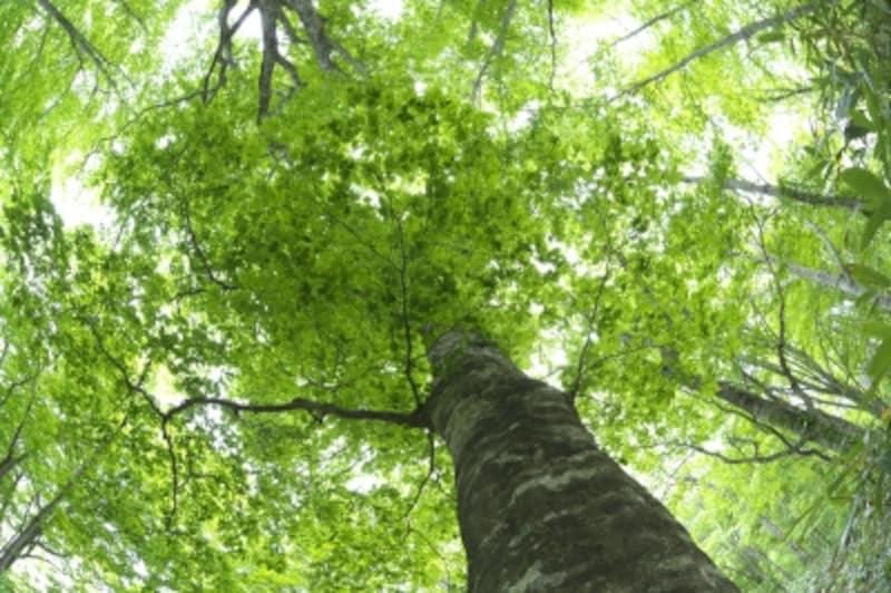 新緑のブナ林の巨木