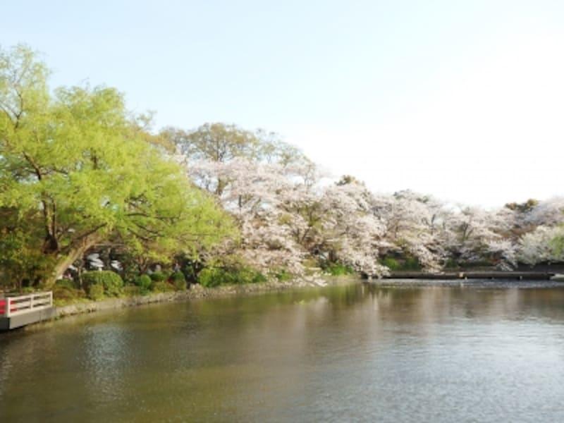 サクラ咲く源平池