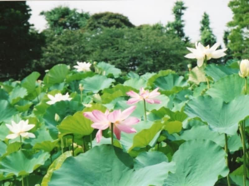 源平池に咲くハス
