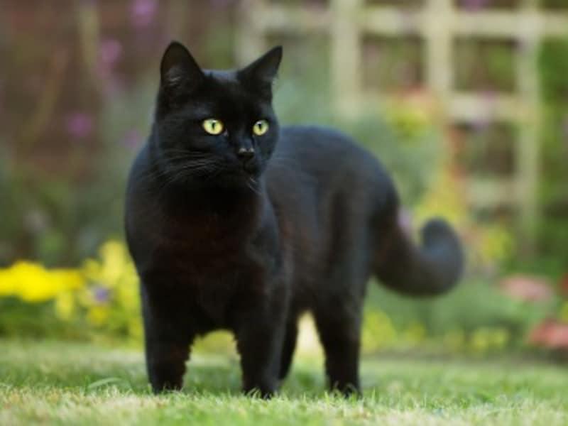 黒猫が前を横切ったら不吉?
