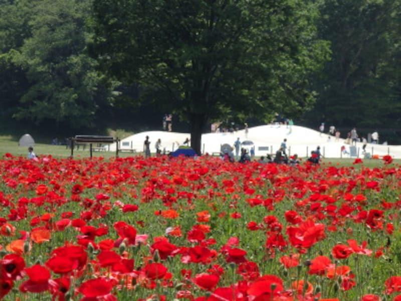 運動広場に接するポピーの花畑