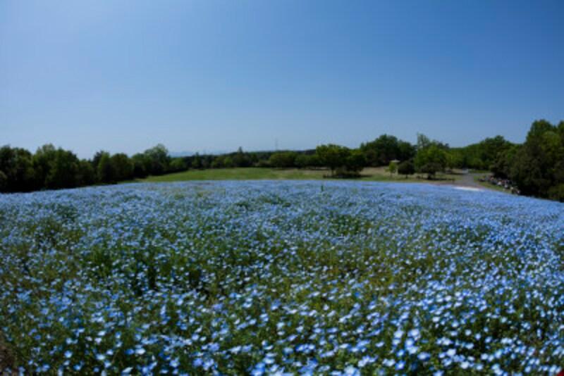 武蔵丘森林公園 ネモフィラのお花畑