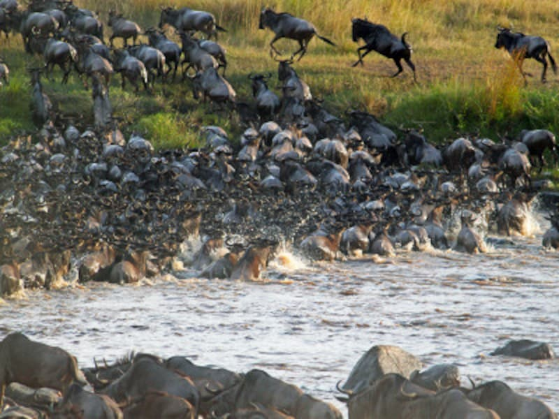 世界遺産「セレンゲティ国立公園」のヌーの大移動=グレイト・ミグレーションの様子