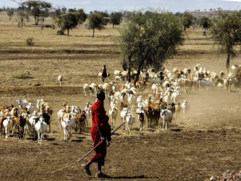 放牧を行うマサイ族