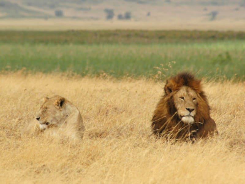 顔を並べたメスライオンとオスライオン