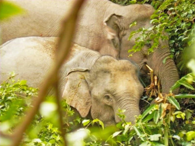 カオヤイ国立公園のアジアゾウ