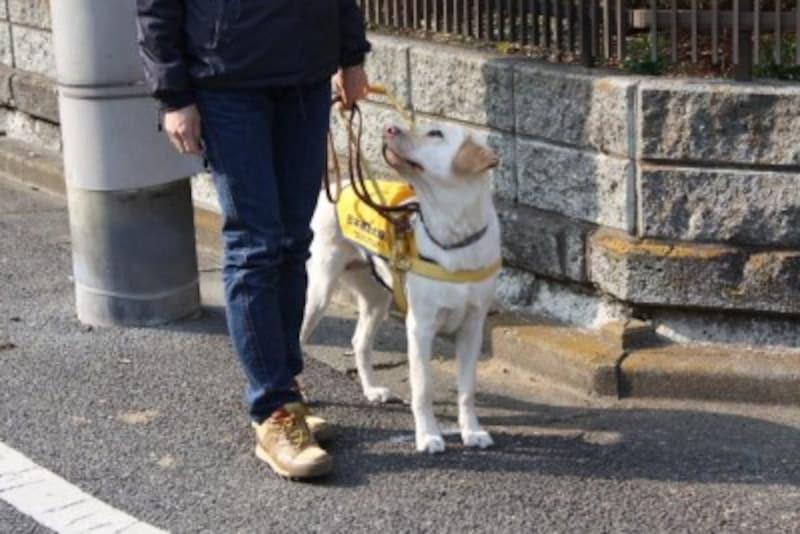 盲導犬-交差点での停止