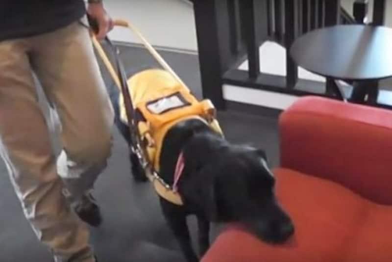 盲導犬-椅子へ誘導