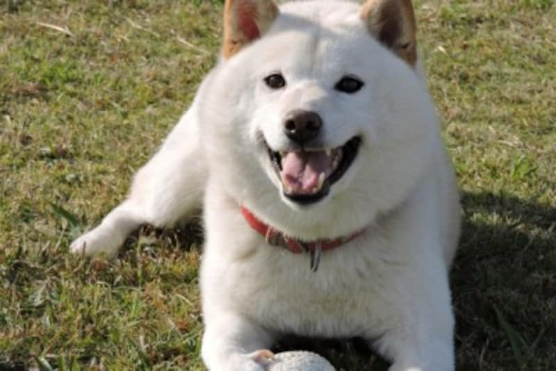 柴犬-白毛
