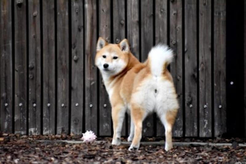 柴犬-赤毛
