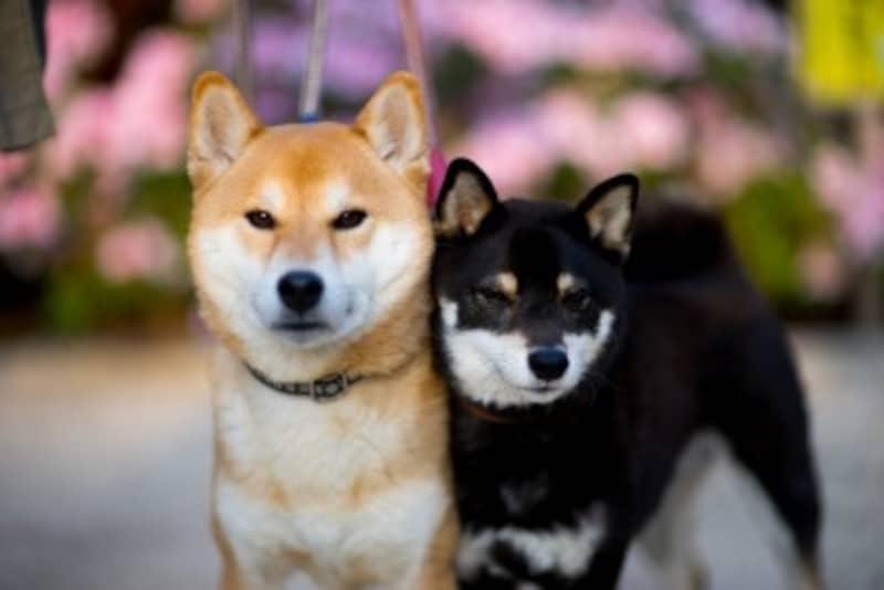 柴犬-赤毛と黒毛