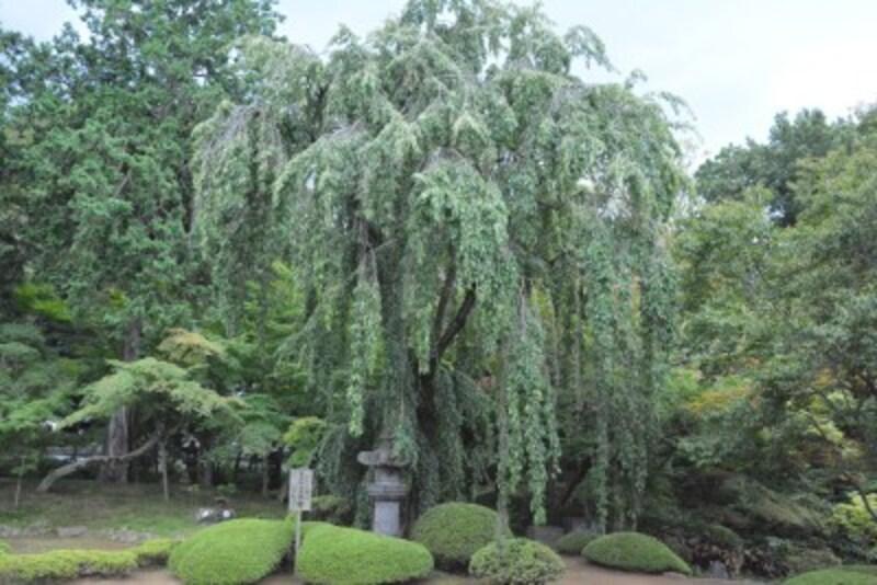 客殿の庭園で元気に育つ家光手植えの桜