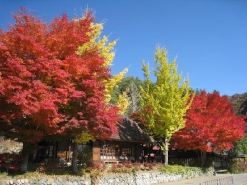 西湖いやしの里根場の紅葉