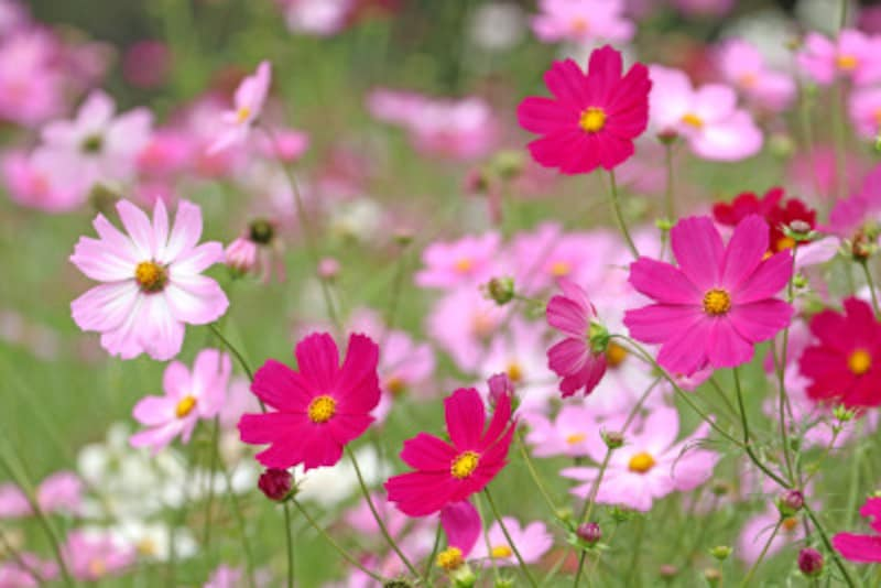 コスモス(秋桜)の花言葉