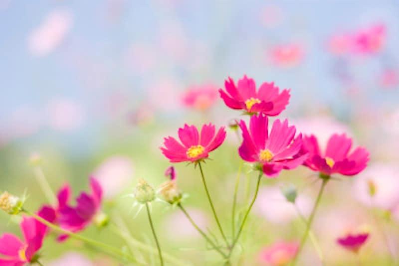 コスモス(秋桜)の色別の花言葉・赤