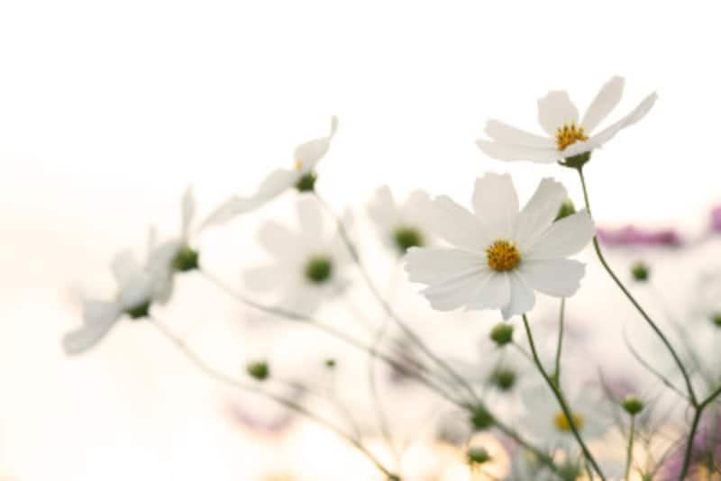 コスモス(秋桜)の色別の花言葉・白