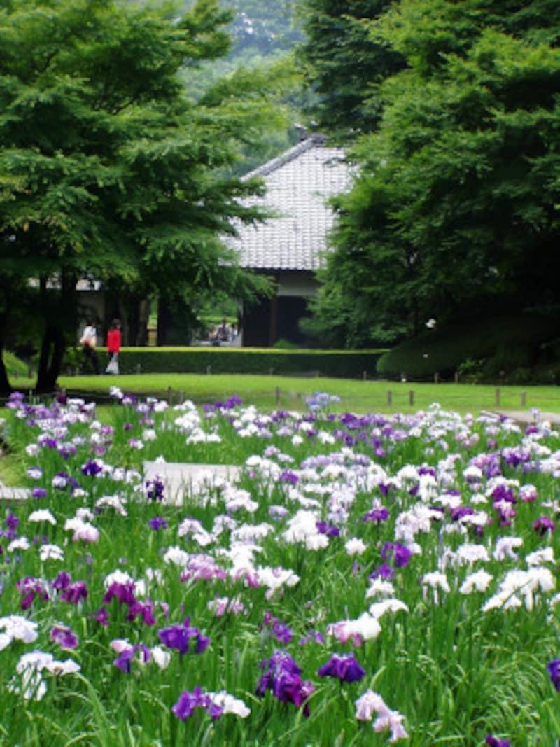 本堂後庭園に咲くハナショウブ