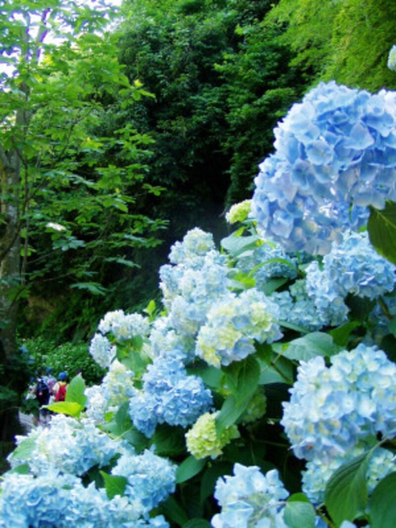 明月院に咲くのは日本古来のヒメアジサイ