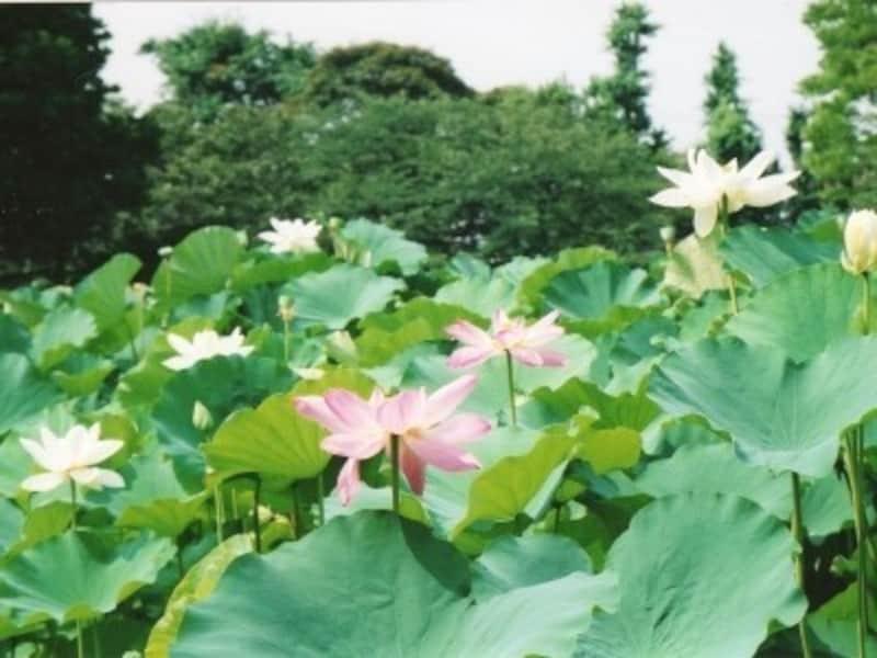 源平池に咲くハス(夏季)