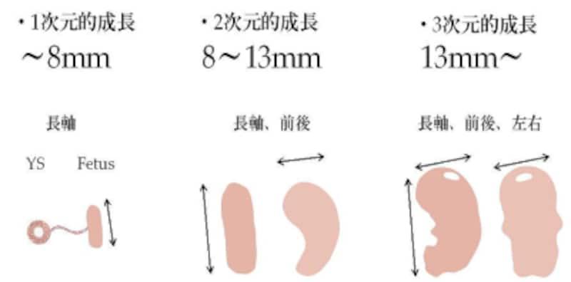 妊娠初期の頭殿長(CRL)の成長の様子