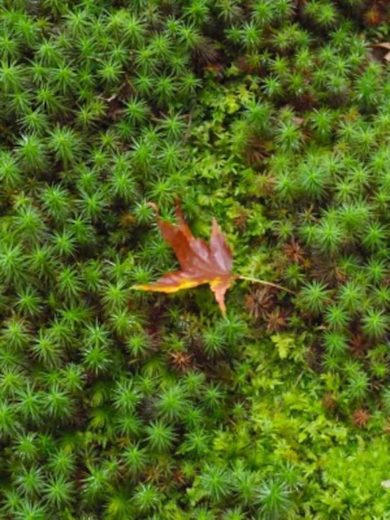 圓光寺の苔庭で見られるウマスギゴケ