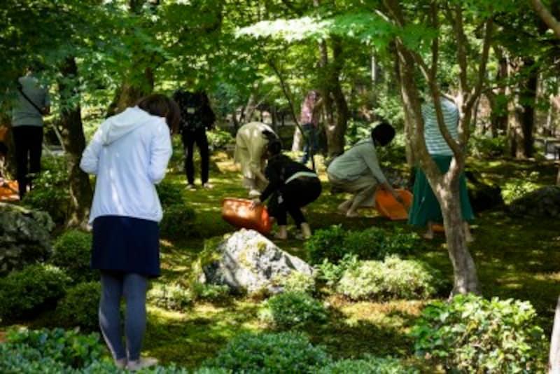 圓光寺の苔庭作務