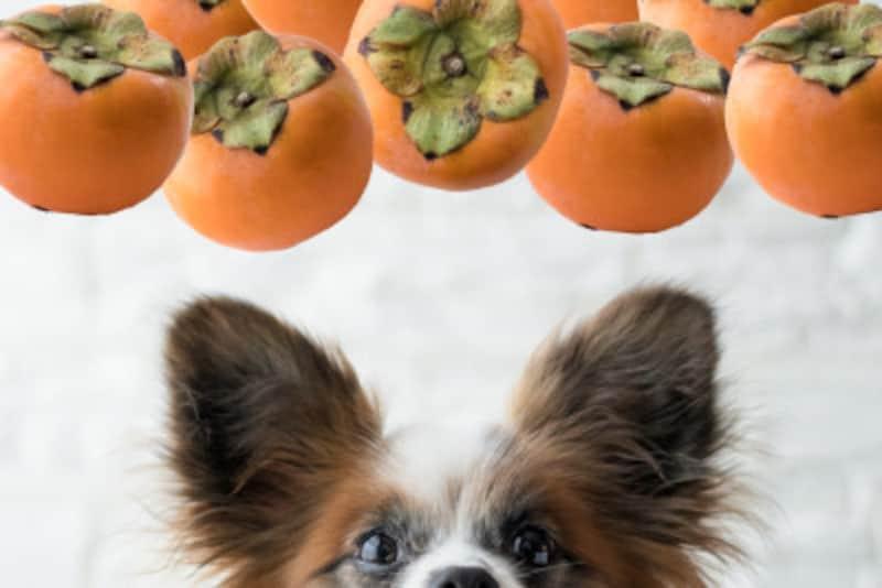 犬,わんこ,わんちゃん,愛犬,かき,柿,カキ,種無し柿,富有柿,干し柿,あんぽ柿,柿の種,食べていい,食べちゃダメ,食べちゃった,あげていい,種,効果,効能,効く,病気,治る,量,吐く,下痢,適量,与える量,食べていい量,どれぐらいの量,