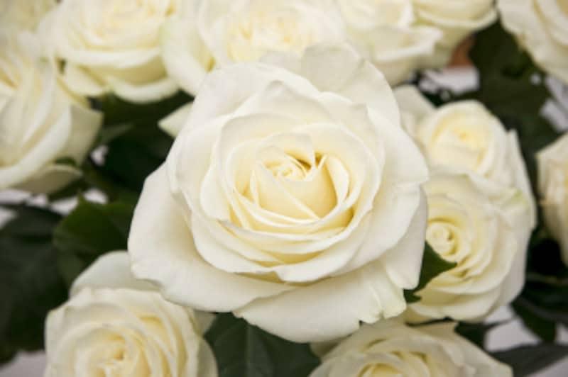 バラ(薔薇)の花言葉・白