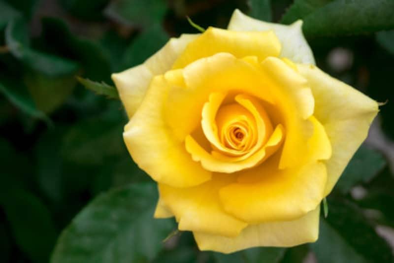 バラ(薔薇)の花言葉・黄色