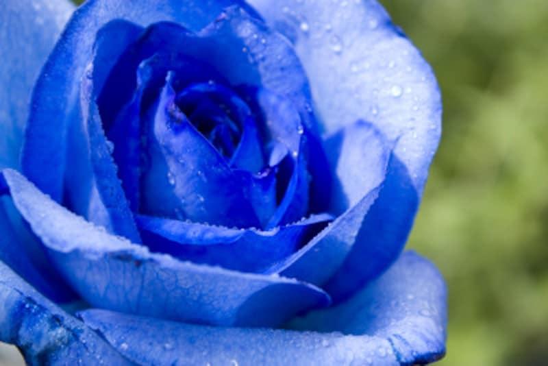 バラ(薔薇)の花言葉・青