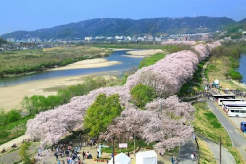 淀川河川公園背割堤地区(八幡市)。春は桜が美しい木津川の両岸の広い平地の部分も5メートル以上の浸水があると想定されている。