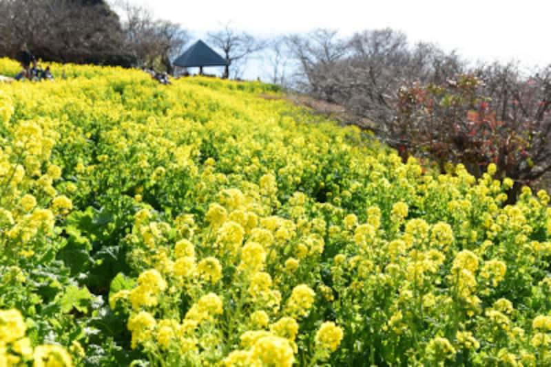 「吾妻山公園」の6万株の菜の花畑