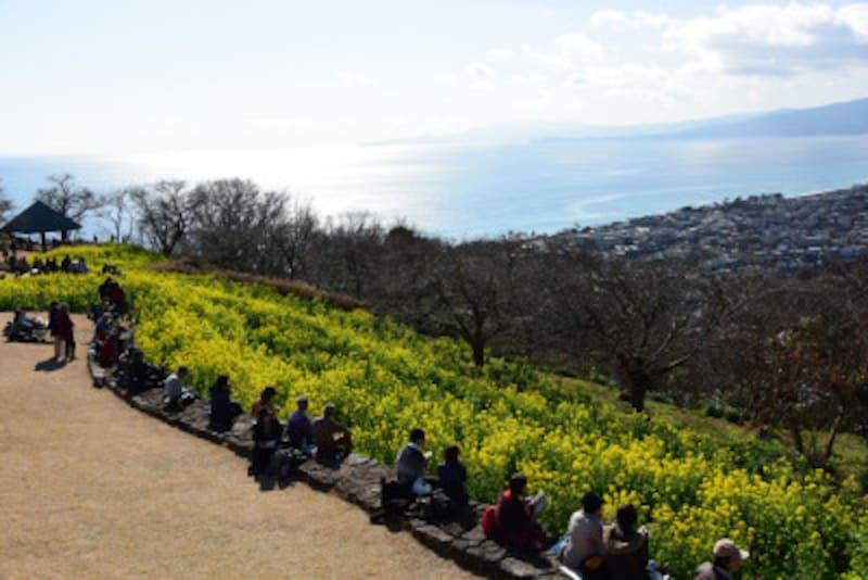 菜の花畑の向こうにキラキラと輝く相模湾や伊豆半島が見える