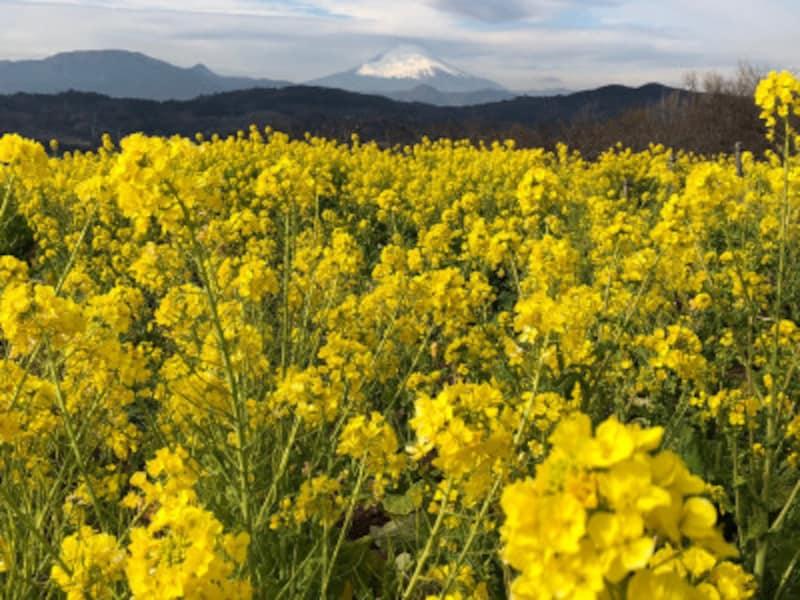 菜の花畑の向こうに富士山が見える日も