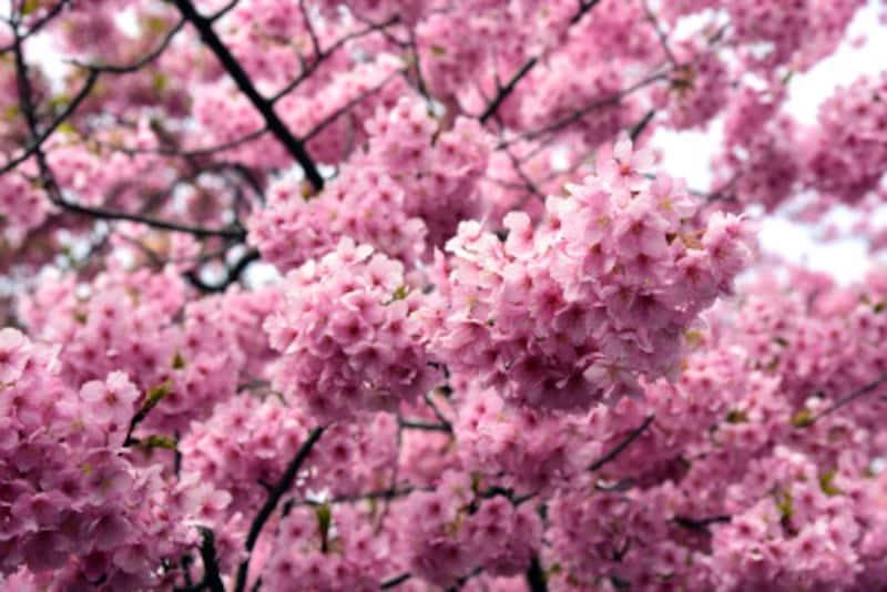 1月下旬~3月上旬頃の1ヶ月間にわたり、濃いピンク色の花を咲かせる「河津桜(かわずさくら)」