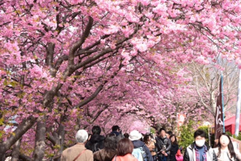 約4kmにわたって河津桜が植えられている河津川沿いの遊歩道