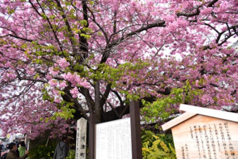 町道沿いに植えられている「河津桜の原木」(個人所有)