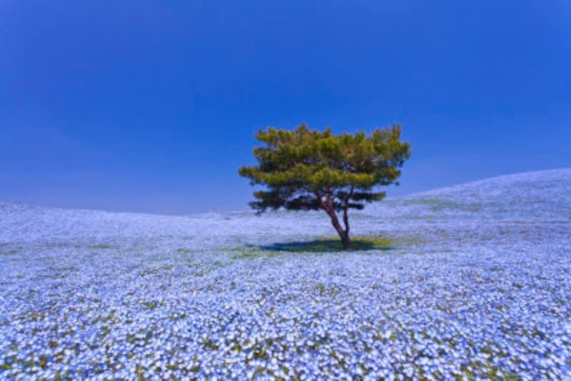 淡いブルーのネモフィラに覆われる丘と空と海が織りなす青のハーモニーに心洗われる茨城県「国営ひたち海浜公園」の「みはらしの丘」