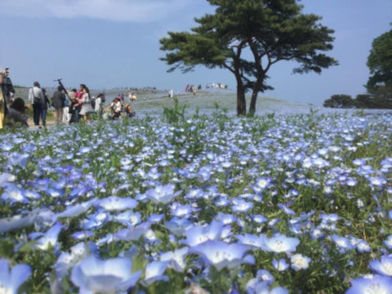 淡いブルーの小さな花、ネモフィラが丘を覆うように咲き、まるで空や海の一部に溶け込んだような不思議な空間が現出