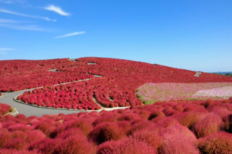 「みはらしの丘」は、秋にはコキアの紅葉で真っ赤になる