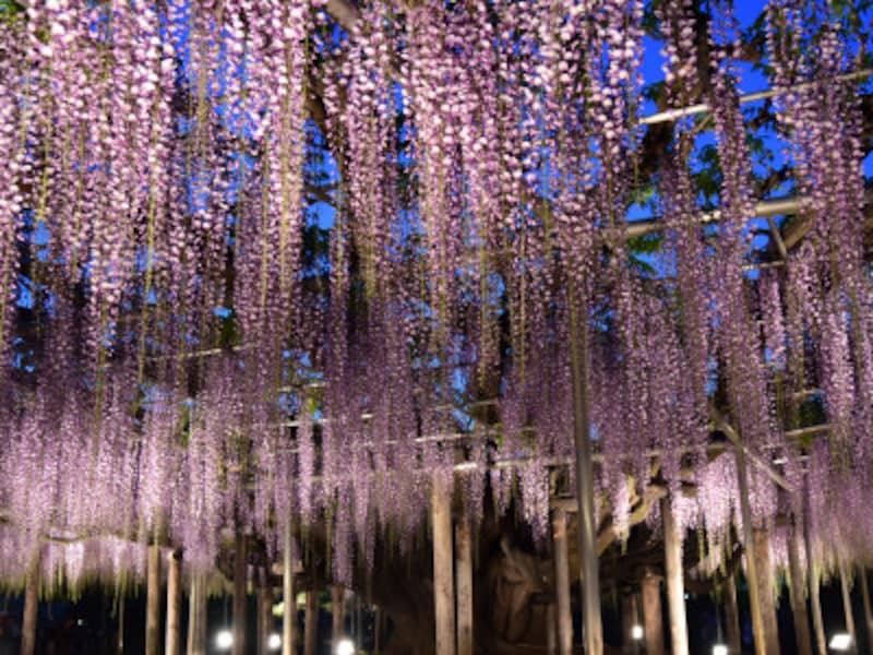 「あしかがフラワーパーク」の藤棚のライトアップは、幻想的な雰囲気!